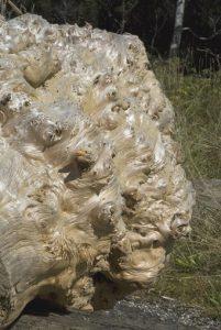 Huon pine logs for sale